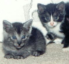 Two_tiny_kittens.jpg (36852 bytes)